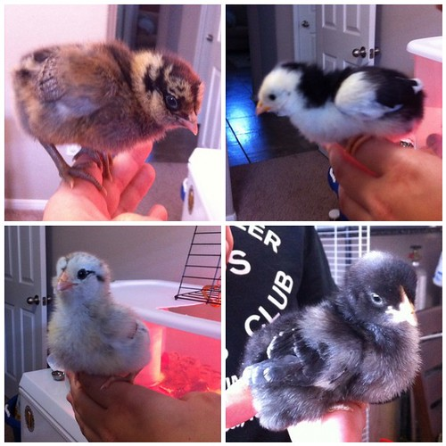 One week old--They can perch!