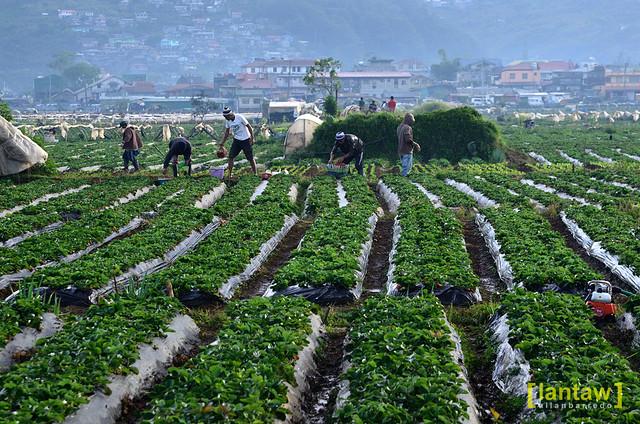 Working in strawberry fields