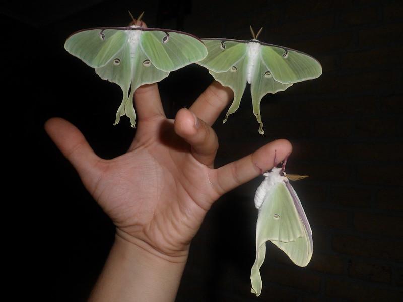Actias luna, Moon moth