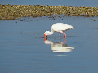 White Ibis Looking for Lunch