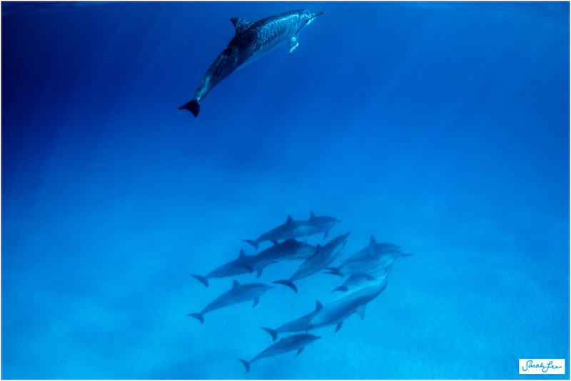46_spinner_dolphins_kona.jpg