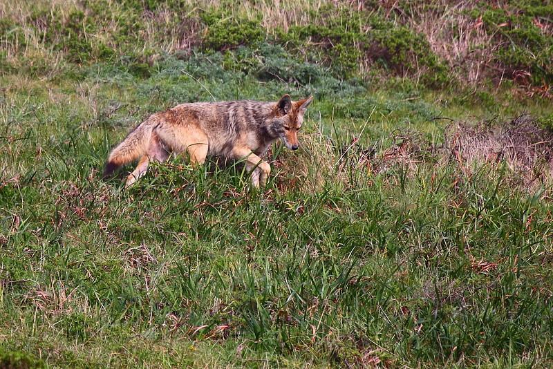 IMG_7614 Coyote