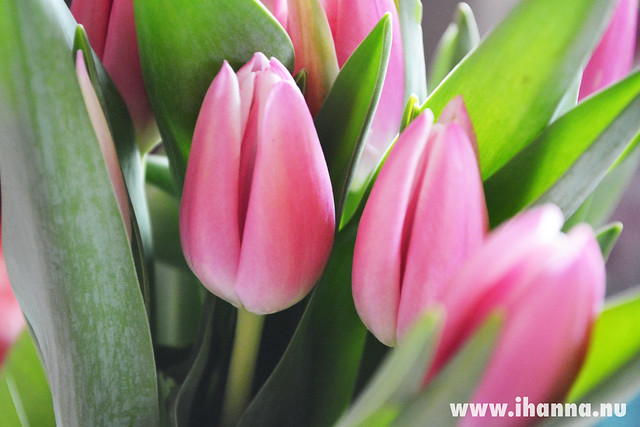 Pink tulips for Hanna