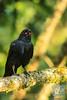 Australian Raven by David de Groot