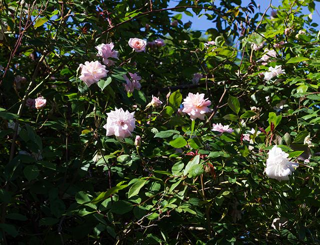 pink spring roses