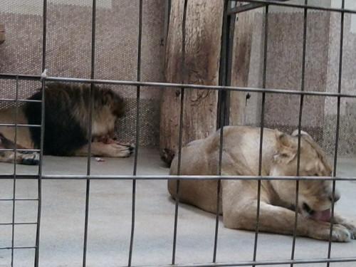 Familie Löwe beim gemeinschaftlichen Abendbrot!