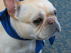 old english bulldog(0.0), british bulldogs(0.0), olde english bulldogge(0.0), white english bulldog(0.0), dog breed(1.0), nose(1.0), animal(1.0), dog(1.0), pet(1.0), australian bulldog(1.0), toy bulldog(1.0), french bulldog(1.0), carnivoran(1.0), bulldog(1.0),