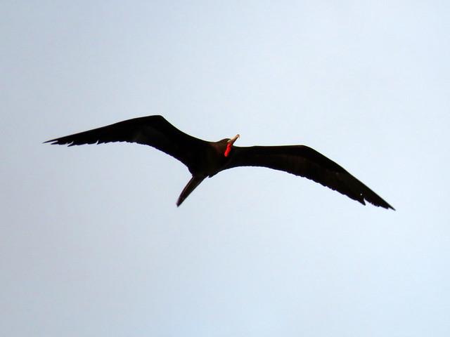 Magnificent Frigatebirds (Fregata magnificens)