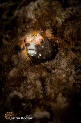 macro underwater caymanislands grandcayman eastend caribbeansea blenny britishwestindies sunsetreef oceanfrontiers inonz240 subsee10 nauticam alexmustardworkshop compasspointdiveresort sonynex6 zeisstouit