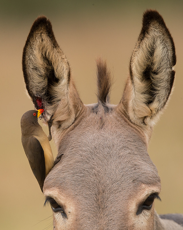 Yellow-billed Oxpecker   Gambia