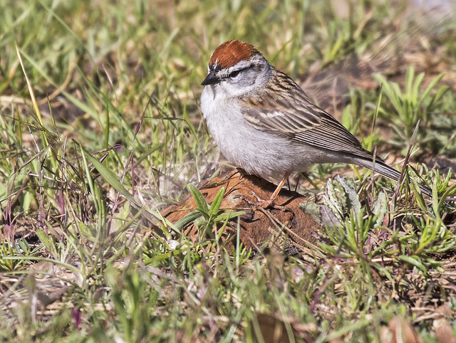 Chipping Sparrow 14-7D2-110516