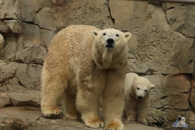 Eisbär Lili im Zoo Bremerhaven 30.04.2016 Tei 1  106