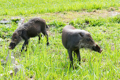 Two young Bearded Pigs