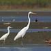Snowy & Great Egret, Bahia la Ventosa, Oaxaca, Mexico por Terathopius