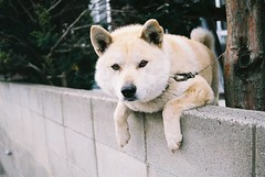 street dog(0.0), norwegian elkhound(0.0), wolfdog(0.0), saarloos wolfdog(0.0), dog breed(1.0), animal(1.0), akita inu(1.0), west siberian laika(1.0), akita(1.0), dog(1.0), hokkaido(1.0), shiba inu(1.0), pet(1.0), shikoku(1.0), mammal(1.0), greenland dog(1.0), kishu(1.0), korean jindo dog(1.0),