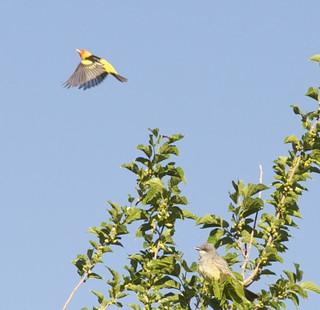 WesternTanagerKingbird