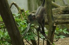 rainforest(0.0), ape(0.0), animal(1.0), branch(1.0), monkey(1.0), mammal(1.0), fauna(1.0), spider monkey(1.0), old world monkey(1.0), new world monkey(1.0), jungle(1.0), macaque(1.0), wildlife(1.0),