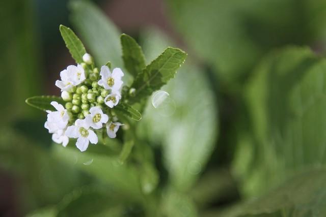 3455 horseradish blooms