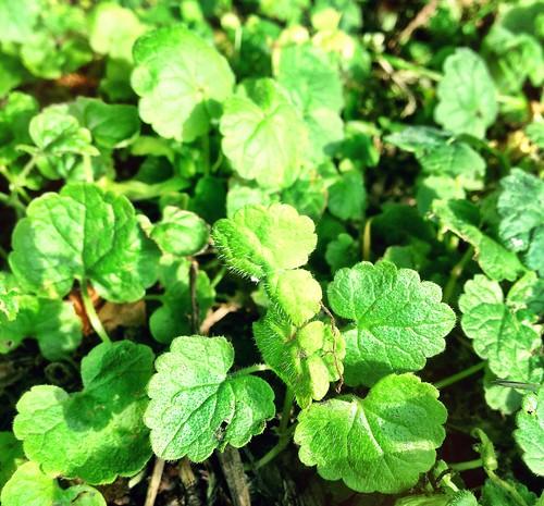 Ground Ivy, for fragrant sleep