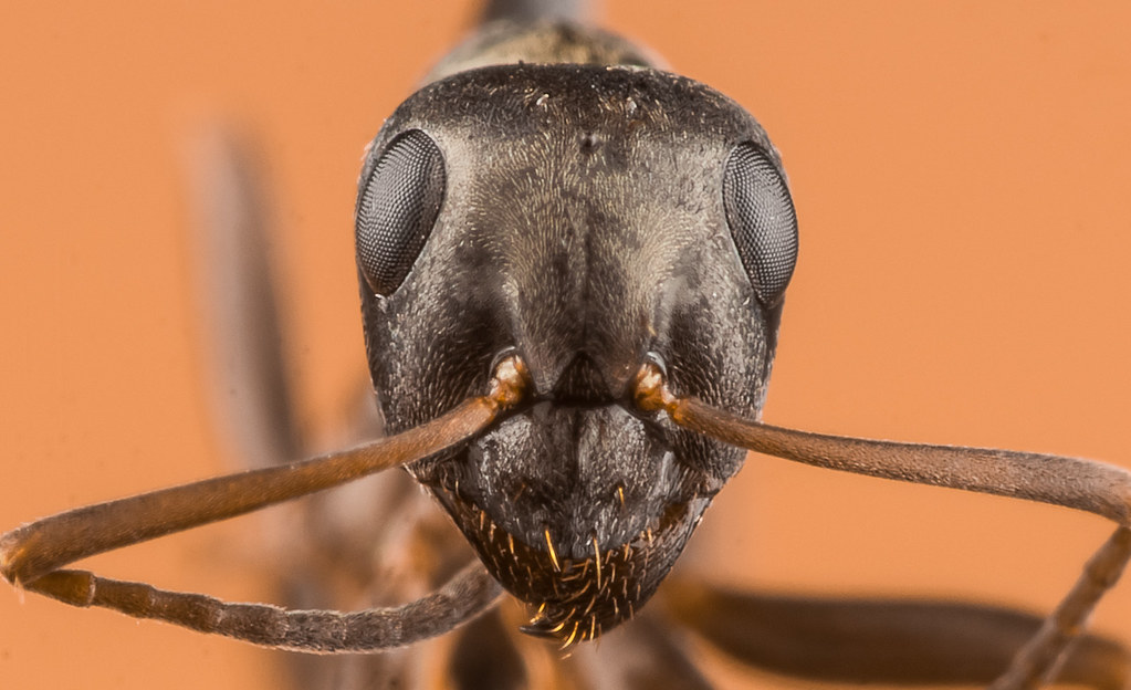 Face of A very little Ant