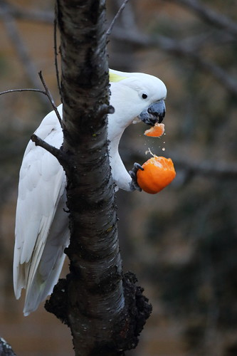 Sulphur_crested_Cockatoo_1C0A5641