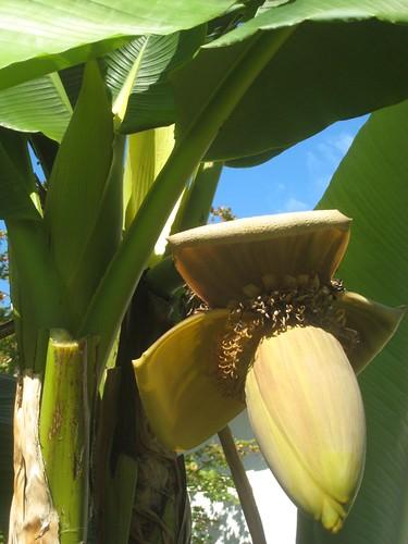 Musa basjoo blooms