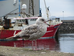Sea gull in Mallaig