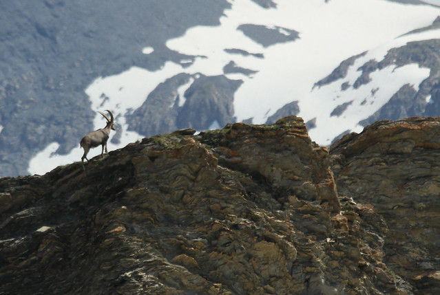 Alpine Ibex- Climbing High