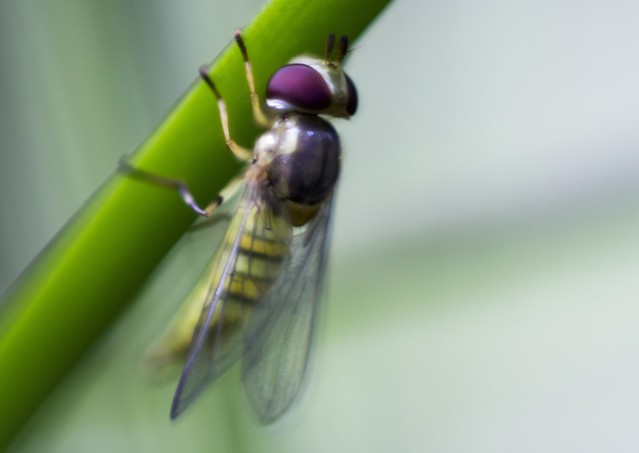 Bee Mimic Hoverfly