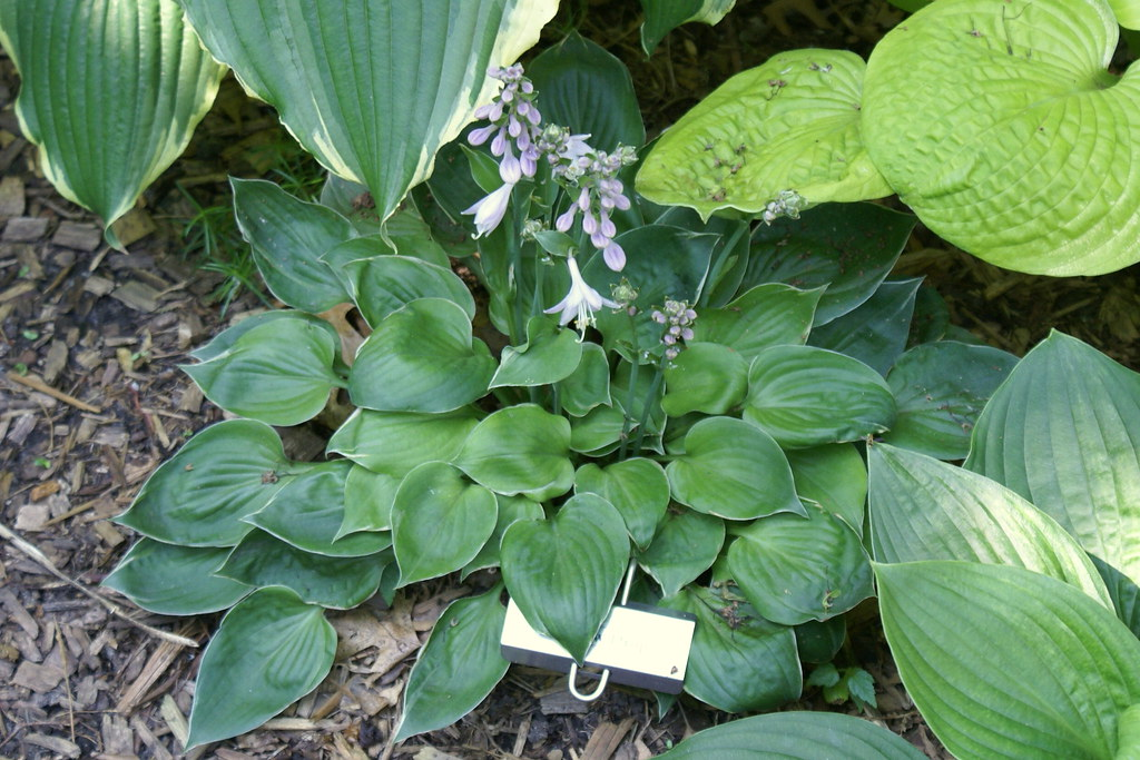 Hosta 'Dew Drop' (10)-001
