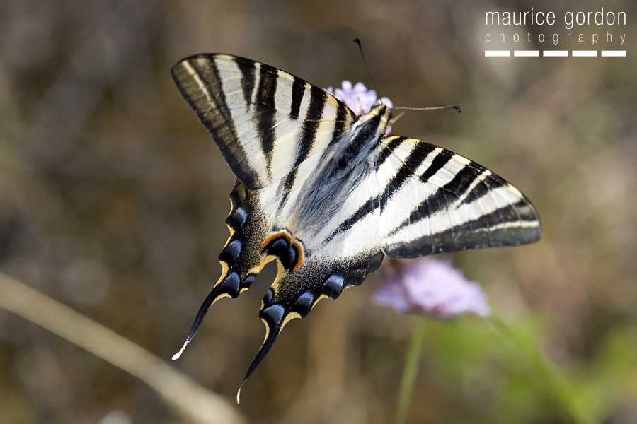 scarce swallowtail-ceret_DSC4687