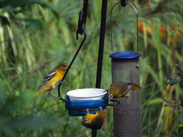 Orioles at feeder2 8:23:13