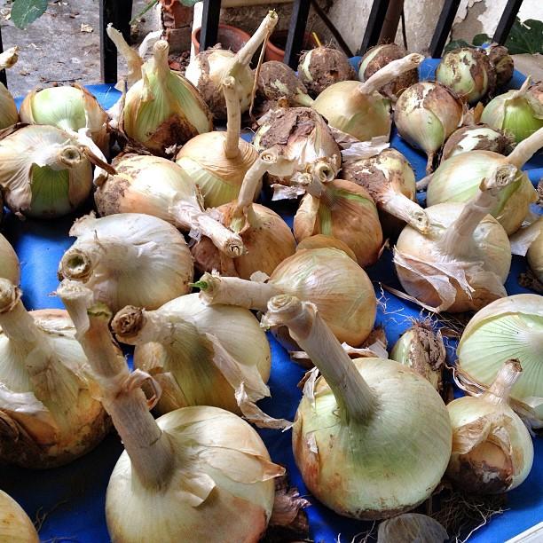 En proceso de secado #cebollas #calçots