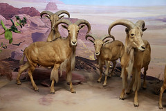 sheeps(0.0), animal(1.0), sheep(1.0), argali(1.0), mammal(1.0), horn(1.0), barbary sheep(1.0), goats(1.0), herd(1.0), fauna(1.0), bighorn(1.0), wildlife(1.0),