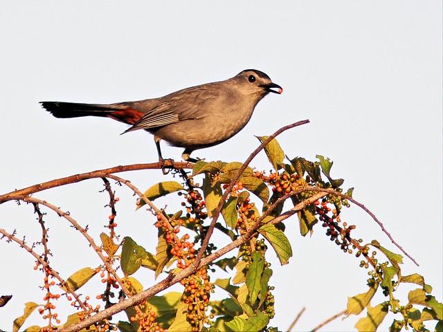 Gray Catbird in Trema tree 20131008