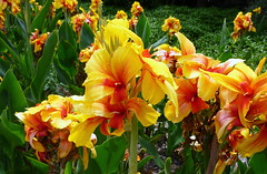 Cannas_without_end_BotGard_Syd