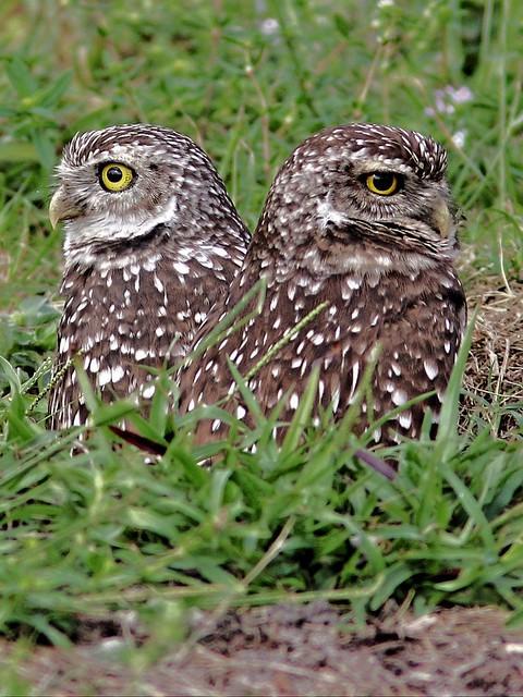 Burrowing Owls 01ch-20131114