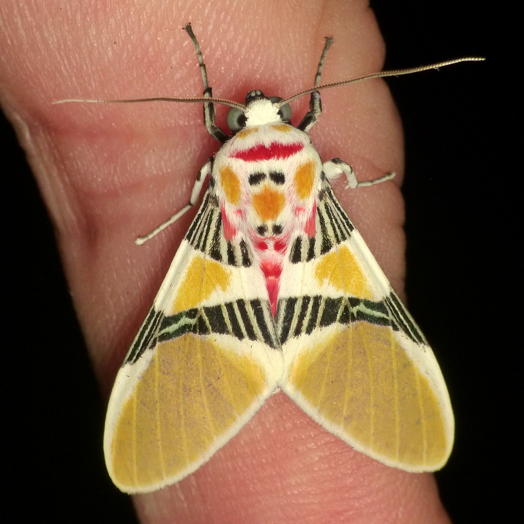 Tiger moth with Clown face, Idalus herois?