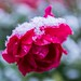The first snow of the last rose by Eisbäärchen