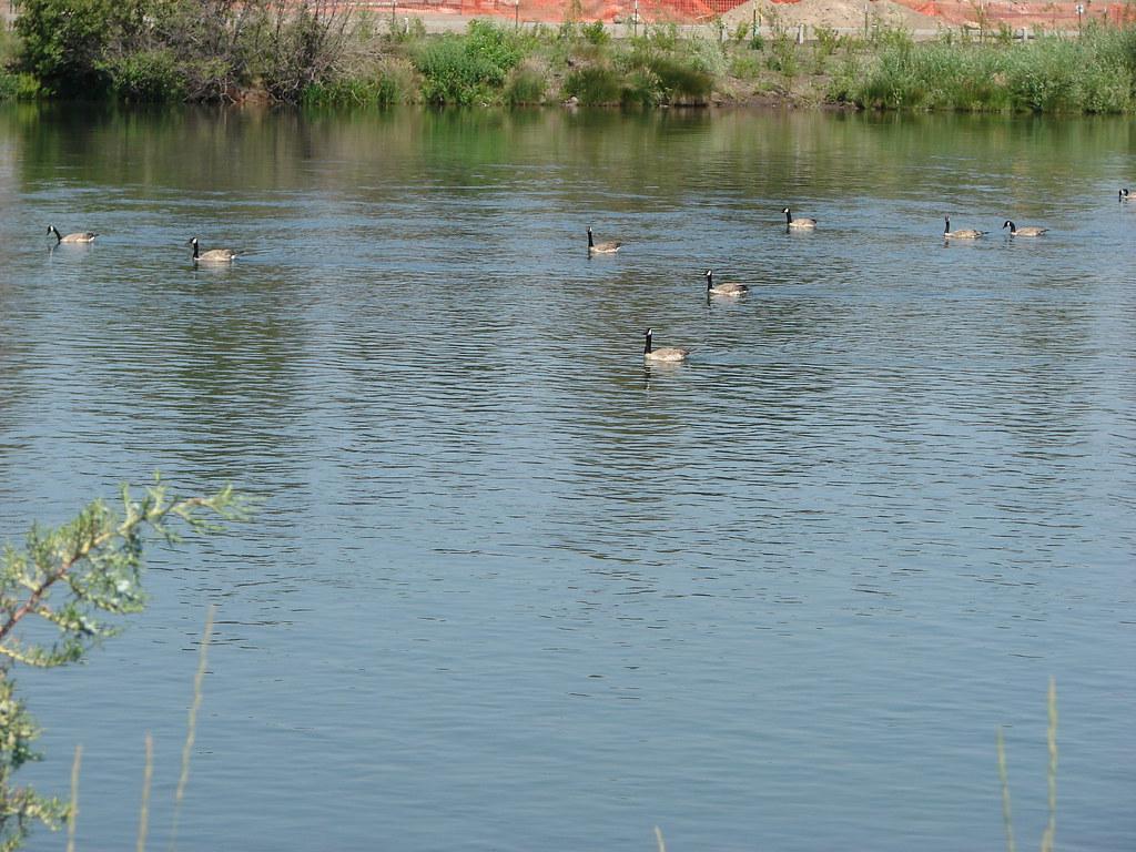 Geese on the Deschutes River