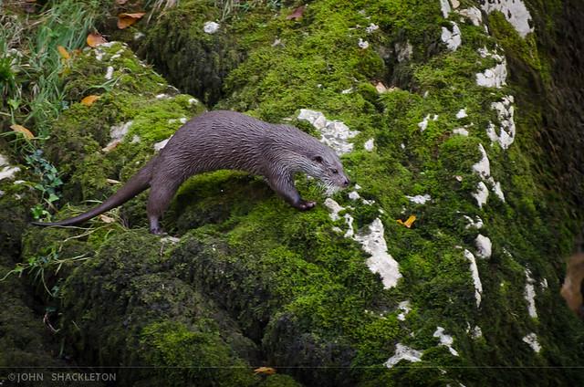 Otter / Nutria (Lutra lutra)