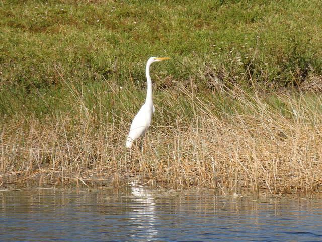 Great Egret Naples Florida