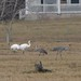 Whooping Cranes and Sandhill Cranes
