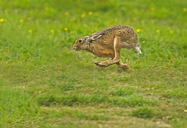 Hare (Lepus europaeus) full gallop