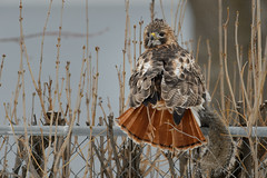 Hawk with Prey_48075.jpg by Mully410 * Images
