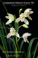 Cymbidium Pakkret Oracle