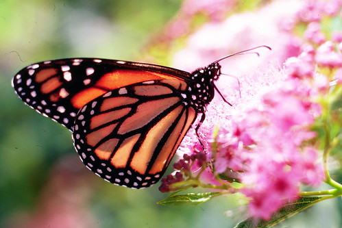 A monarch butterfly collects nectar from a flower. USDA photo by Charles Bryson.