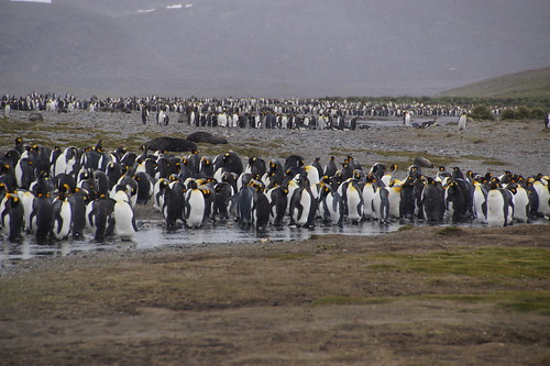 454 Koningspinguins