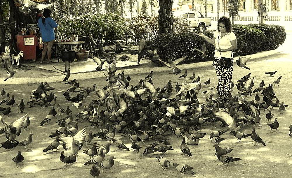 Thai temple pigeons