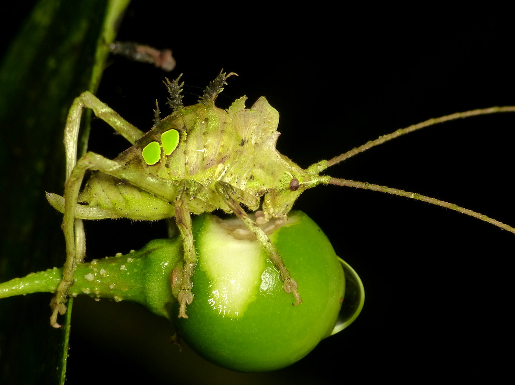 Leaf mimicking Katydid nymph